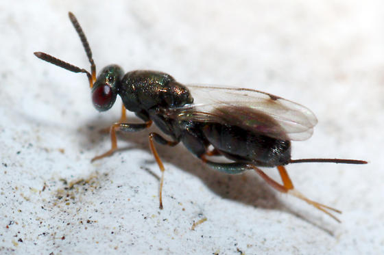 tiny wasp - female