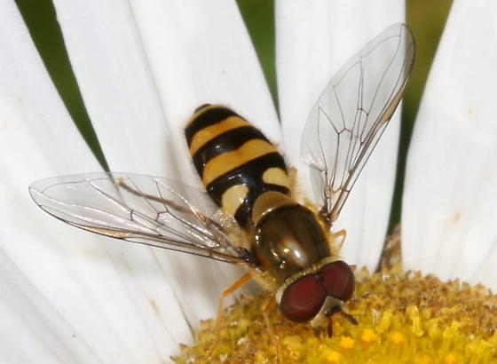 Can it go any further than pretty  Syrphid Fly? - Syrphus - male