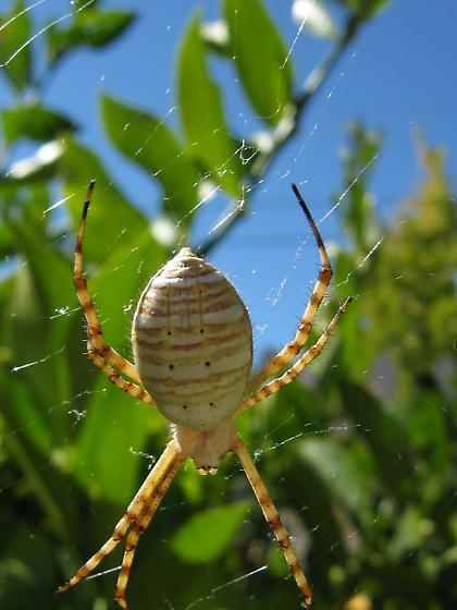 Large Spider in Front Yard - Argiope trifasciata - female