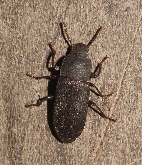 Tenebrionidae - Tenebrio obscurus
