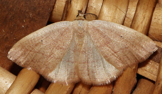 Which moth is this? - Drepanulatrix