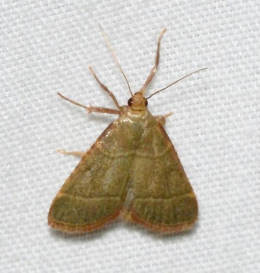 5531 - Hypsopygia nostralis - Hypsopygia nostralis