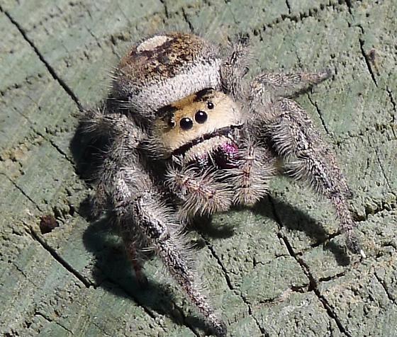 North Florida jumping spider - Phidippus regius - female