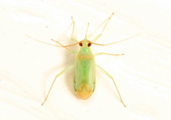 small green Plant Bug - Blepharidopterus?
