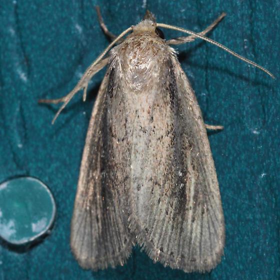 Narrow-winged Borer - Photedes enervata