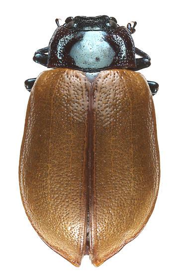 Chrysomela crotchi