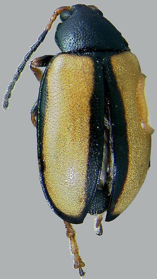 Phyllotreta armoraciae