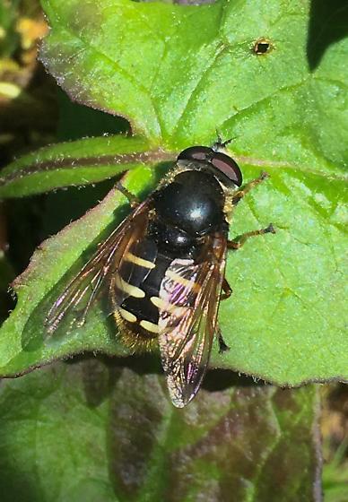 Syprhid Fly - Sericomyia sexfasciata