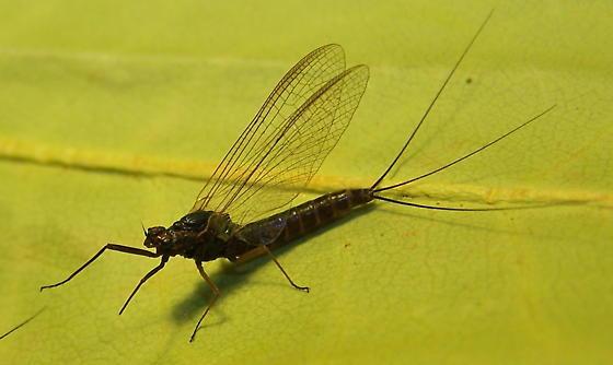 Leptophlebia - female