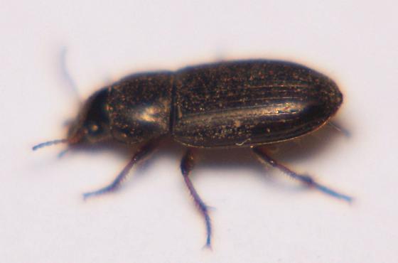Small beetle - Selenophorus planipennis