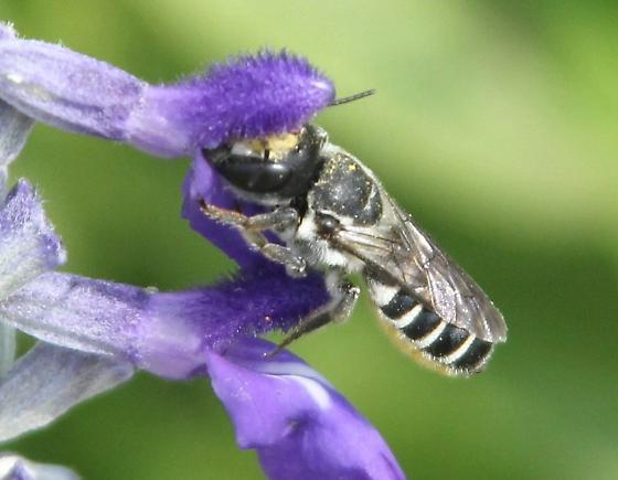 wasp or bee ? - Megachile