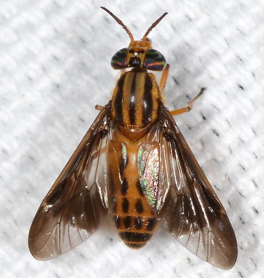 biting fly? - Chrysops vittatus - female