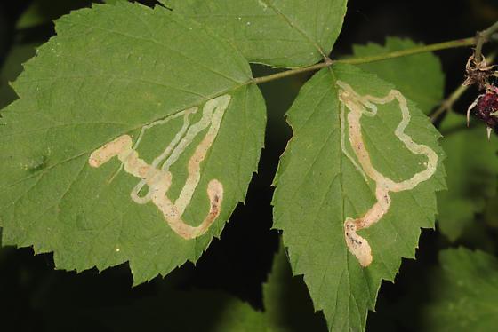 Agromyzidae on Raspberry  - Agromyza vockerothi