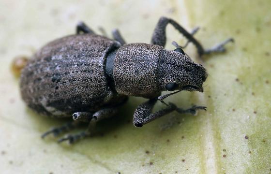 Broad nosed weevil - Naupactus cervinus