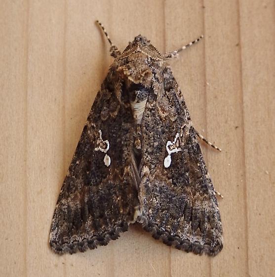 Noctuidae: Trichoplusia ni - Trichoplusia ni