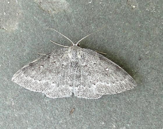 moth - Cyclophora pendulinaria - male