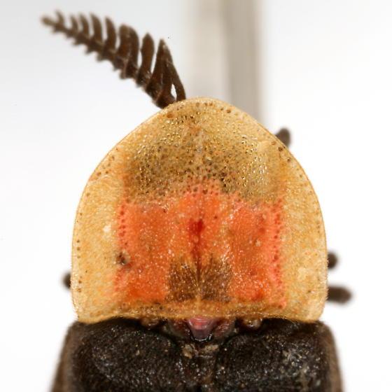 Pleotomus nigripennis LeConte - Pleotomus nigripennis - male