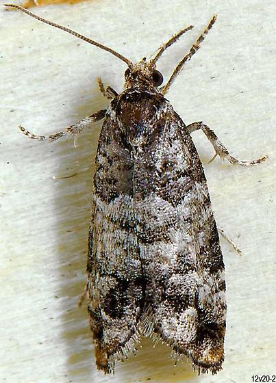 micro - Barbara colfaxiana - male