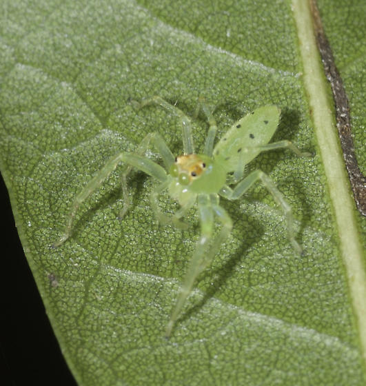 These were quite common under leaves - a first for us! - Lyssomanes viridis