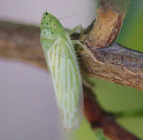 Cicadellid - Pagaronia tredecimpunctata