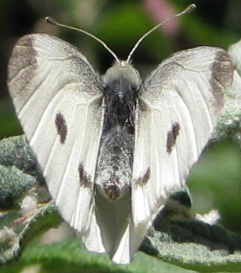 Small white - Pieris rapae - female