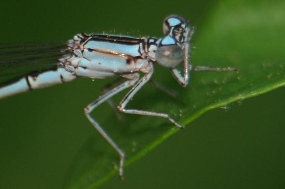 Damselfly - Pale Bluet - Lateral of Thorax & Head - Enallagma pallidum - female