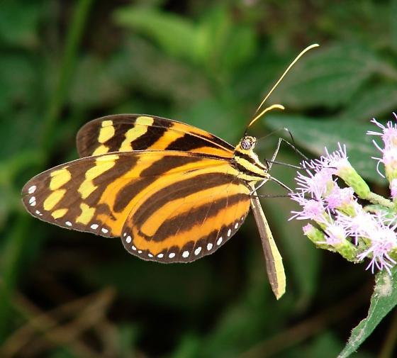 Heliconoid Ticlear - Melinaea lilis