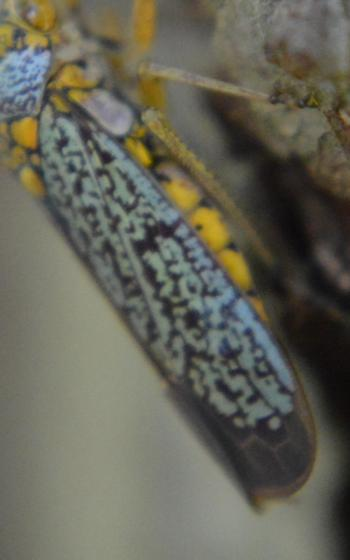 Leafhopper? - Oncometopia orbona