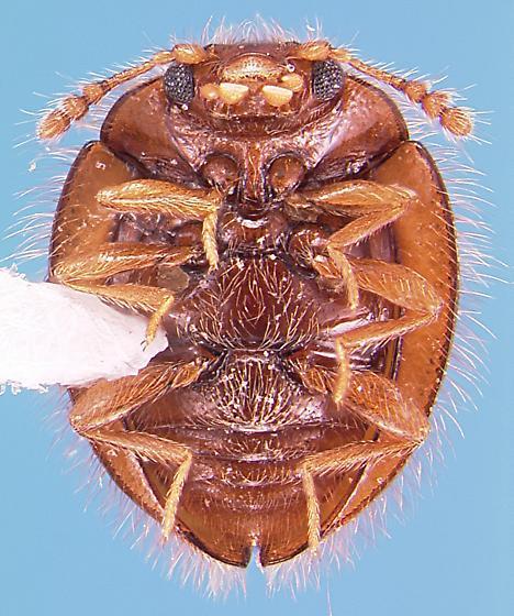 Endomychid - Clemmus minor