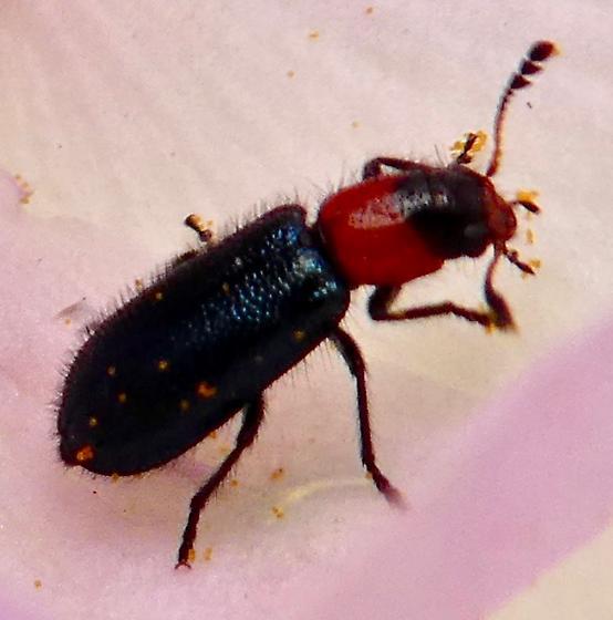 Beetle - Loedelia maculicollis
