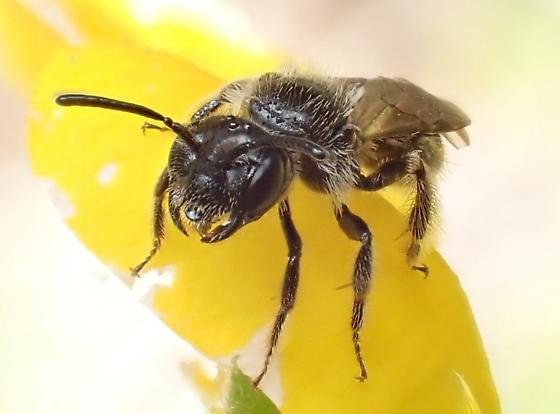 Bee on Thermopsis - Panurginus