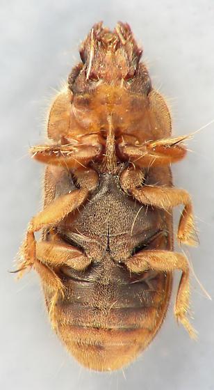 Heteroceridae - Heterocerus collaris