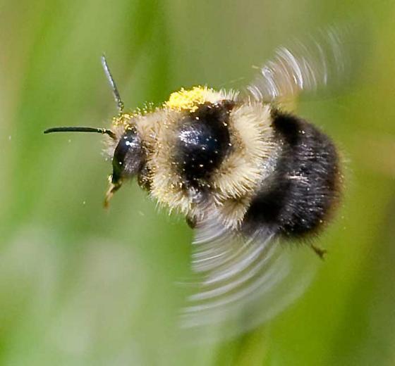 Bumblebee (?) from near Lake Tahoe.  - Bombus