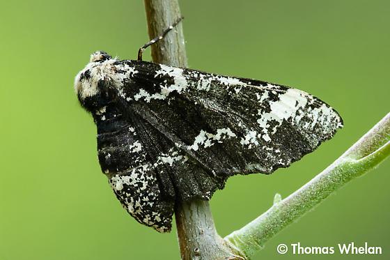 Moth on aspen - Phaeoura quernaria - female