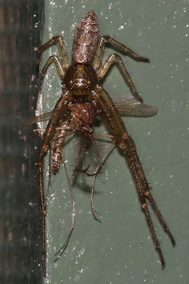 Spider - Tmarus angulatus