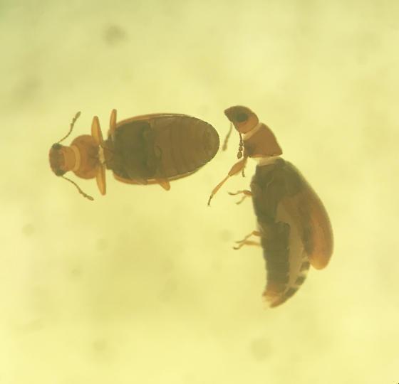 Tenebrionidae?