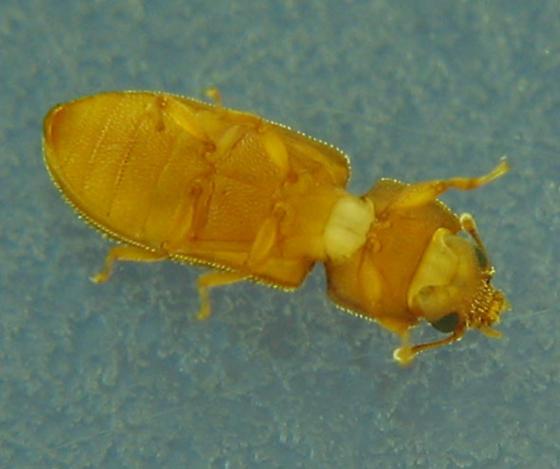 In-oak-bark pupa/beetle - Synchita fuliginosa
