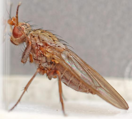heleomyzid - Amoebaleria defessa - female