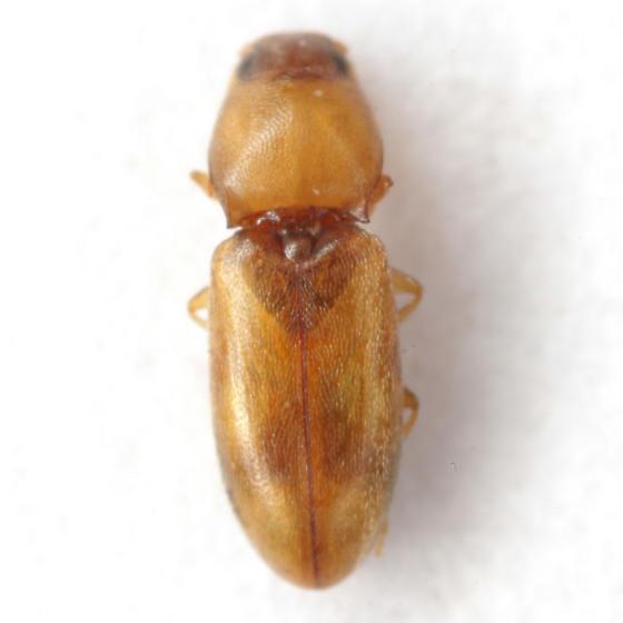 Paradonus futilis (LeConte) - Paradonus futilis