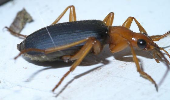 Black and orange ground beetle - Brachinus tenuicollis