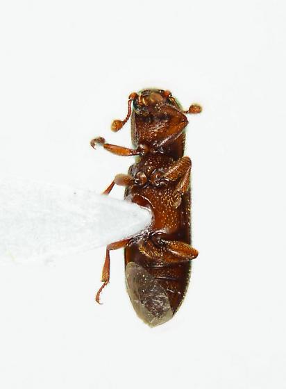 Unknown.... - Oxylaemus californicus