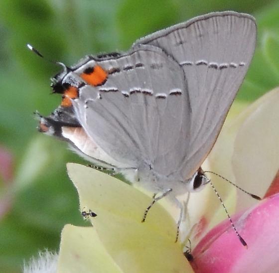 Gray Hairstreak - Hodges#4336 (Strymon melinus) - Strymon melinus