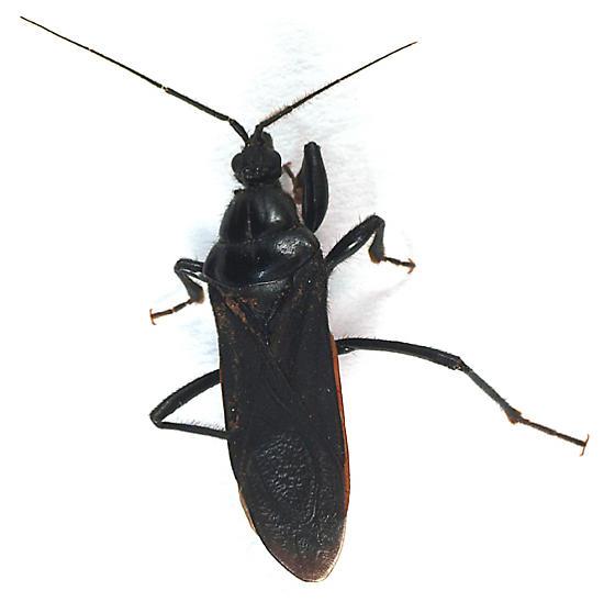 ?Black Corsair to black light - Melanolestes picipes