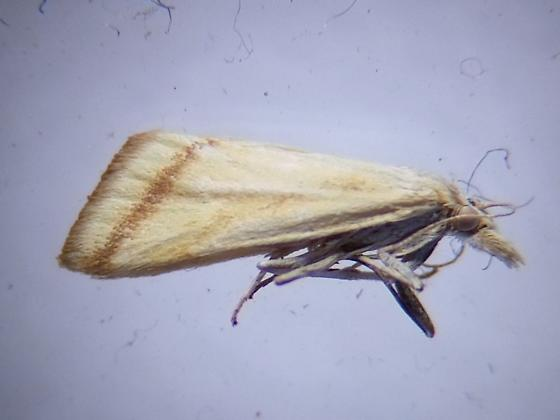 Pale Microtheoris vibicalis (Whip-marked Snout Moth) DNA barcoded - Microtheoris vibicalis