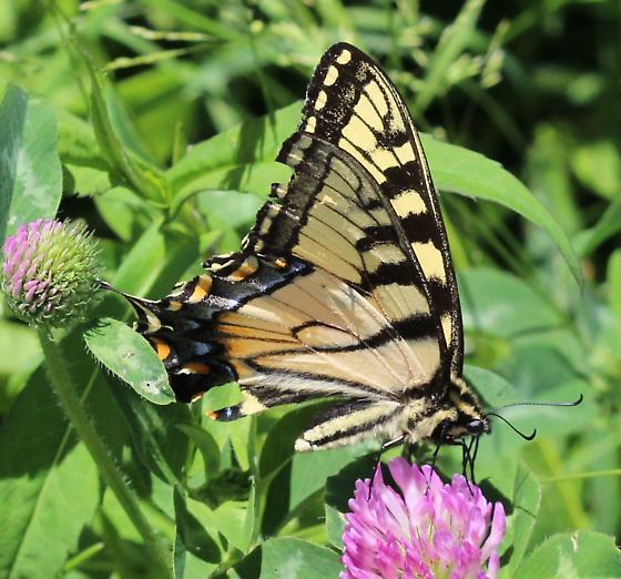 Papilio - Papilio glaucus