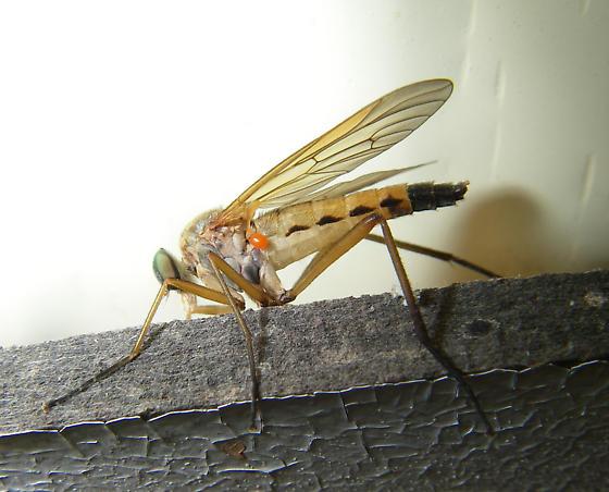 A stilletto fly with a mite on it? - Rhagio tringarius