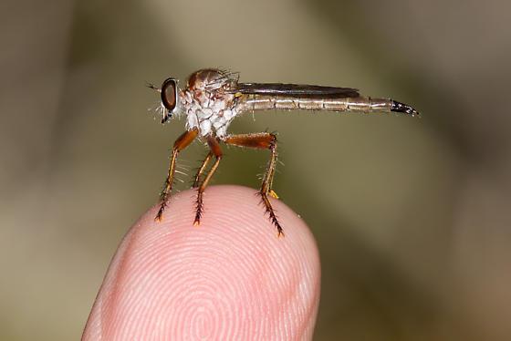Polacantha species - Polacantha