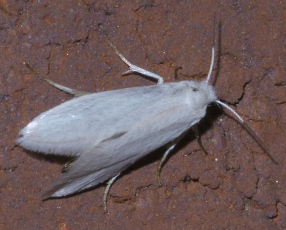 White moth with half-black antennae