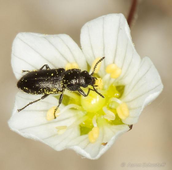 Pollen covered beetle on Minuartia douglasii - Listropsis