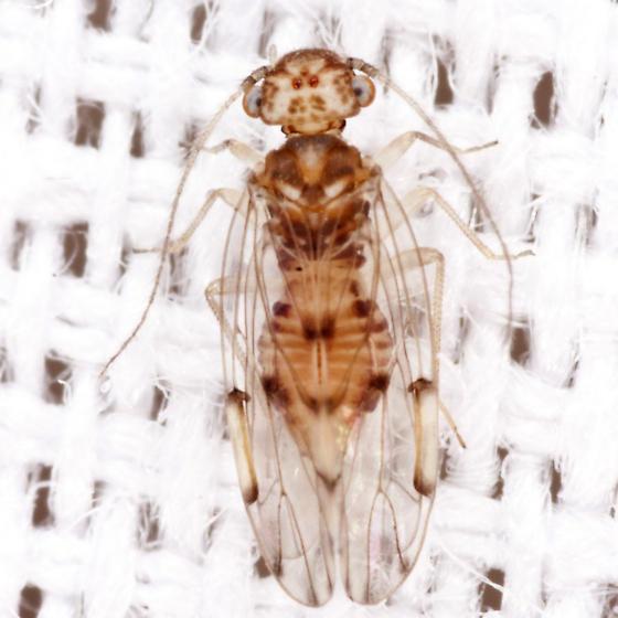 Outer Barklouse - Ectopsocus californicus